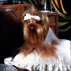 DAISY - die berühmte Yorkie-Hündin - lebensgroß